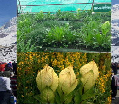 Brahmakamal blossom before time in Kedarnath alarms Climate change