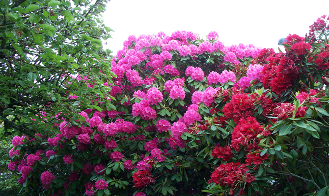 Pink Buransh blossoms in Lincholi-Rambada footway