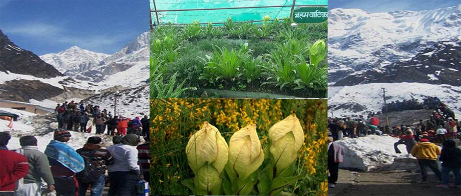 Brahmakamal blossom before time in Kedarnath alarms Climate change